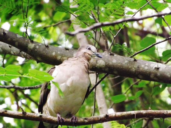 grenada-dove-close-up